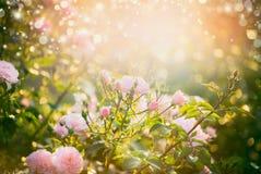 Den rosa bleka rosbusken över sommarträdgård eller parkerar naturbakgrund Royaltyfri Bild
