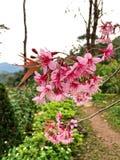Den rosa blomman av Prunuscerasoides arkivbilder