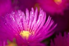 den rosa blomman vätte Royaltyfria Foton