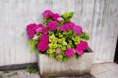 den rosa blommande pelargon blommar i kruka Arkivbilder