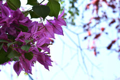 Den rosa bougainvillean blommar i en trädgård Royaltyfri Bild