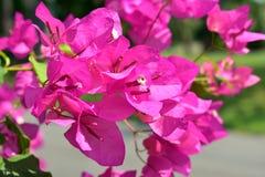 Den rosa bougainvillean blommar i trädgården Arkivfoton
