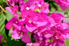 Den rosa bougainvillean blommar i trädgården i utomhus- sommar Royaltyfri Foto