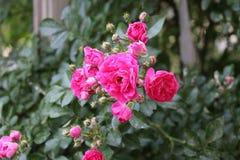 Den rosa busken blommar i trädgården arkivfoton