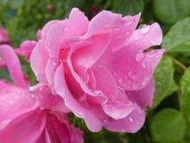 Den rosa busken med rosa färger blomstrar waterdrops i trädgården royaltyfri fotografi