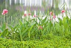 Den rosa cannaen blommar i trädgården Arkivbilder