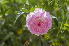 Den Rosa centifoliaen som kallades också kål, steg, rosa Provence, eller medicinskt steg Royaltyfria Foton