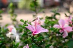 Den rosa chainaen steg Royaltyfri Foto