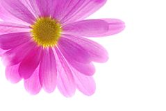 den rosa chrysanthemumen single Arkivfoto
