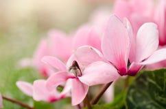 Den rosa cyklamenblomman Arkivbilder