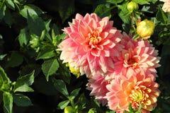Den rosa dahlian blommar närbild Royaltyfri Fotografi