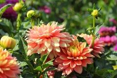 Den rosa dahlian blommar närbild Royaltyfri Foto