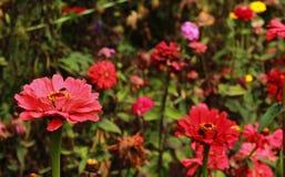 Den rosa dekorativa trädgården blommar, och knoppar i bryanten parkerar, kodaikanalen royaltyfri fotografi