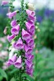 Den rosa digitalins blommar i trädgården Arkivfoton