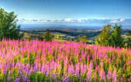 Den rosa färgblommor och sikten från Quantock kullar Somerset England UK in mot Hinkley pekar kärnkraftverket HDR Arkivfoto
