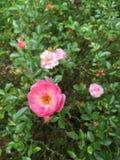 den rosa fen steg Fotografering för Bildbyråer