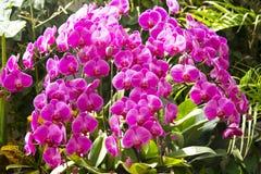 Den rosa fjärilsorkidén och den härliga vasen fotografering för bildbyråer