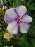 Den rosa floxen blommar i trädgården Denna är blommor av phloxen Det är temat av säsonger Royaltyfria Foton
