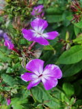 Den rosa floxen blommar i trädgården Denna är blommor av phloxen Det är temat av säsonger Royaltyfri Fotografi