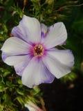 Den rosa floxen blommar i trädgården Denna är blommor av phloxen Det är temat av säsonger Arkivfoton