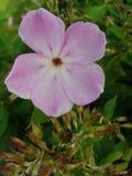 Den rosa floxen blommar i trädgården Denna är blommor av phloxen Det är temat av säsonger Royaltyfria Bilder