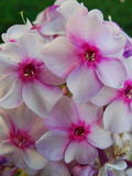 Den rosa floxen blommar i trädgården Denna är blommor av phloxen Det är temat av säsonger Royaltyfri Foto