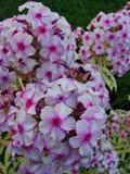 Den rosa floxen blommar i trädgården Denna är blommor av phloxen Det är temat av säsonger Arkivbild
