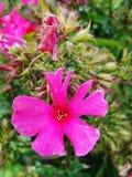 Den rosa floxen blommar i trädgården Denna är blommor av phloxen Det är temat av säsonger Arkivbilder