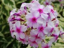 Den rosa floxen blommar i trädgården Denna är blommor av phloxen Det är temat av säsonger Arkivfoto