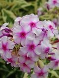 Den rosa floxen blommar i trädgården Denna är blommor av phloxen Det är temat av säsonger Fotografering för Bildbyråer