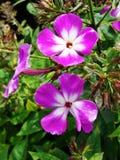 Den rosa floxen blommar i trädgården Denna är blommor av phloxen Det är temat av säsonger Royaltyfri Bild