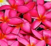 Den rosa frangipanien blommar i vatten Arkivbild