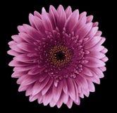 Den rosa gerberablomman på svarten isolerade bakgrund med den snabba banan closeup För design Arkivbild