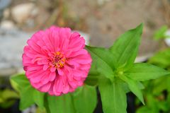 Den rosa gerberaen med gröna sidor beskådar överst royaltyfri bild