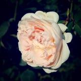 Den rosa hösten steg i Gorky parkerar - det retro filtret Royaltyfria Bilder