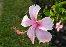 Rosa hibiskusblommor Royaltyfria Bilder