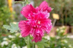 Den rosa hollyhockAlcearoseaen är blommande royaltyfri foto
