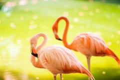Den rosa karibiska flamingo går på vatten Den rosa flamingoen går på en swamp arkivbild