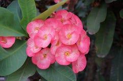 Den rosa kronan av taggar blommar med gröna sidor Royaltyfria Foton