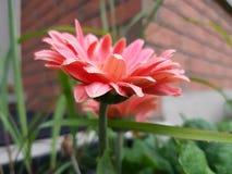 Den rosa kronbladblomman av sommarsäsongen i hem och parkerar Royaltyfria Bilder