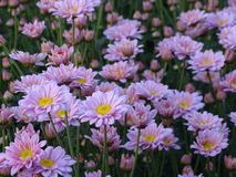 Den rosa krysantemumet har gult pollen som tillsammans planteras som en grupp av blommor arkivbild