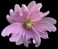 Den rosa lösa malvablomman på svarten isolerade bakgrund med den snabba banan closeup element för klockajuldesign royaltyfri fotografi
