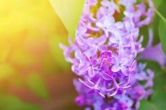 Den rosa lilan blommar i blom - blom- bakgrund med fritt utrymme för text Arkivfoto