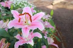 Den rosa liljablomman i trädgårds- bakgrund, rosa färg blommar Royaltyfria Foton