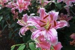 Den rosa liljablomman i trädgårds- bakgrund, rosa färg blommar Arkivbilder