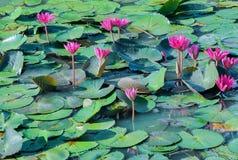Den rosa Lotus i dammet Royaltyfri Fotografi