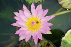 Den rosa lotusblomman Arkivfoto