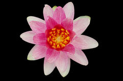 Den rosa lotusblomman Fotografering för Bildbyråer