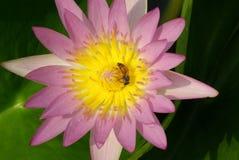 Den rosa lotusblomman Royaltyfria Bilder