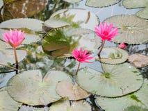 Den rosa lotusblomman Arkivfoton